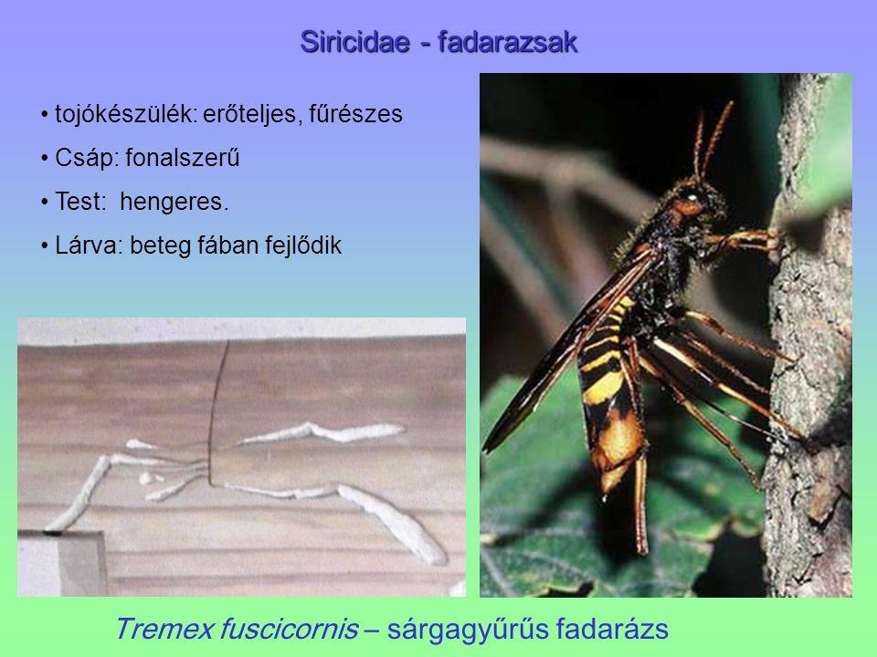 Siricidae - fadarazsak