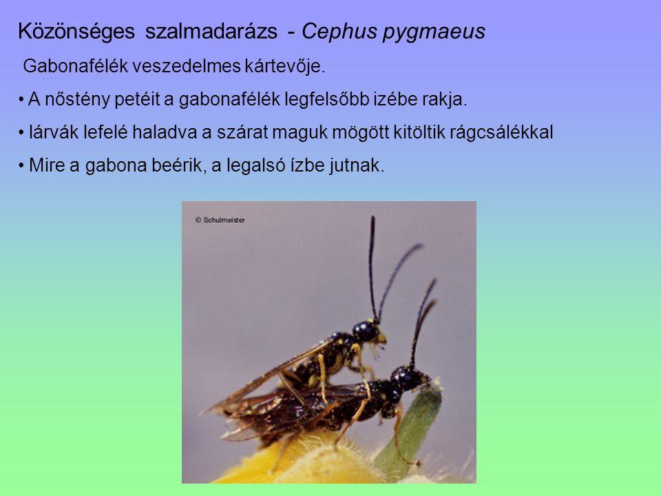 Közönséges szalmadarázs - Cephus pygmaeus