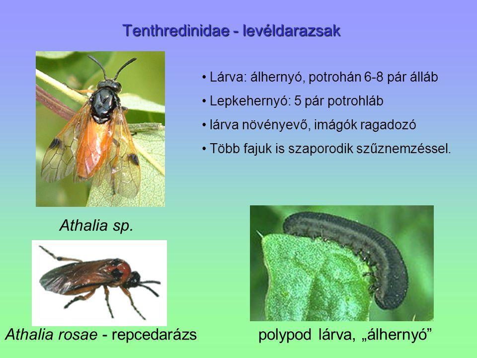 Tenthredinidae - levéldarazsak