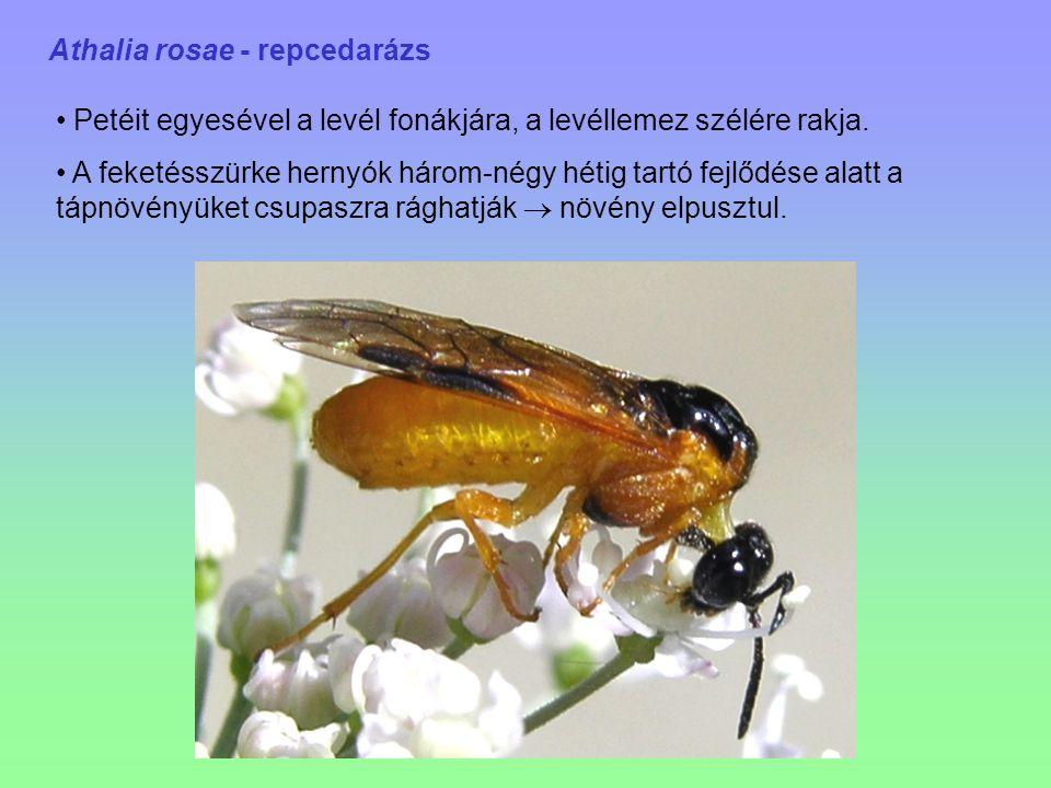 Athalia rosae - repcedarázs