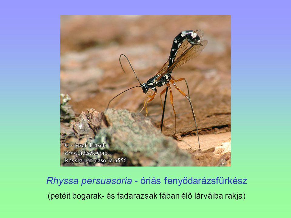 Rhyssa persuasoria - óriás fenyődarázsfürkész
