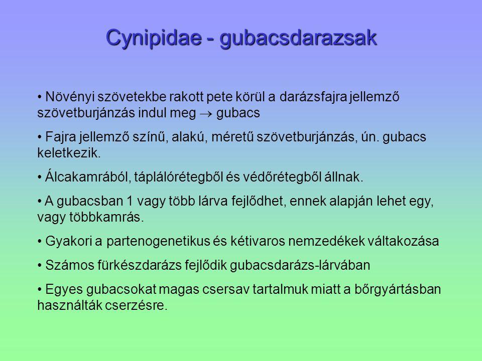 Cynipidae - gubacsdarazsak