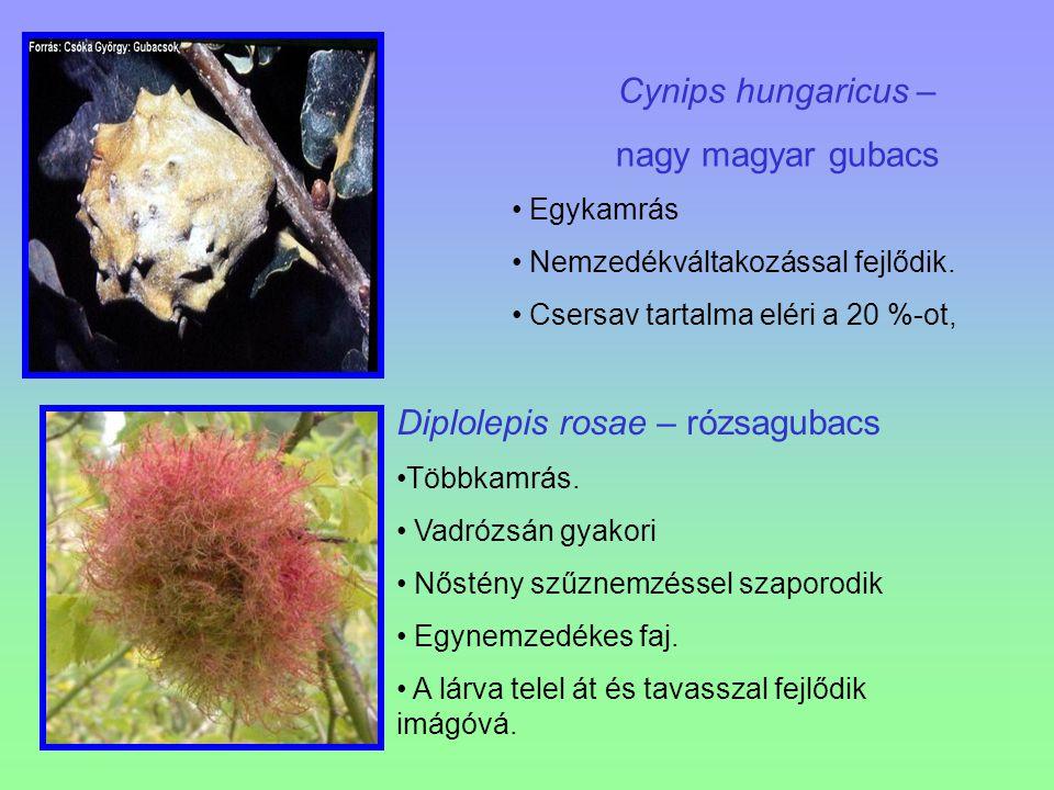 Diplolepis rosae – rózsagubacs