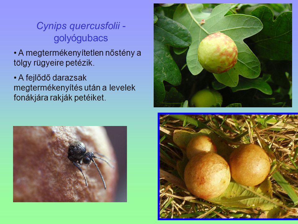 Cynips quercusfolii - golyógubacs