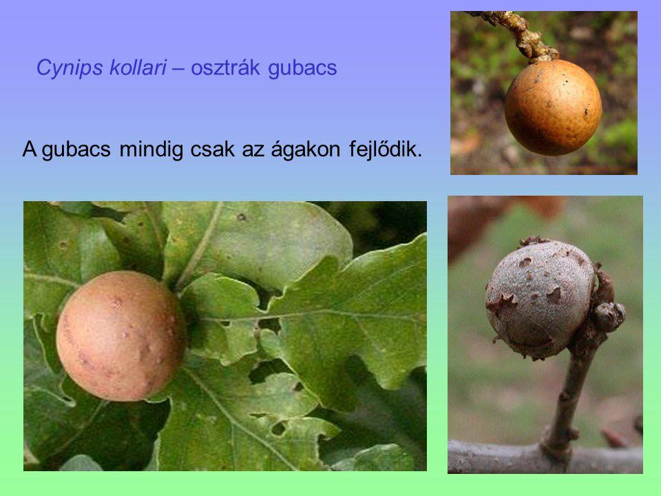 Cynips kollari – osztrák gubacs