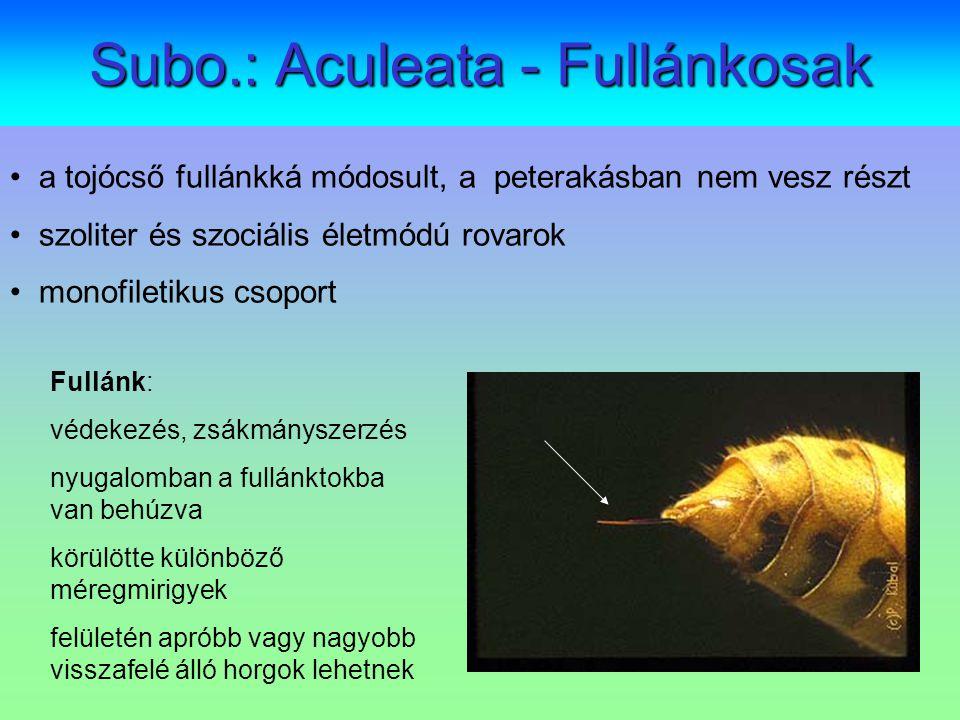 Subo.: Aculeata - Fullánkosak