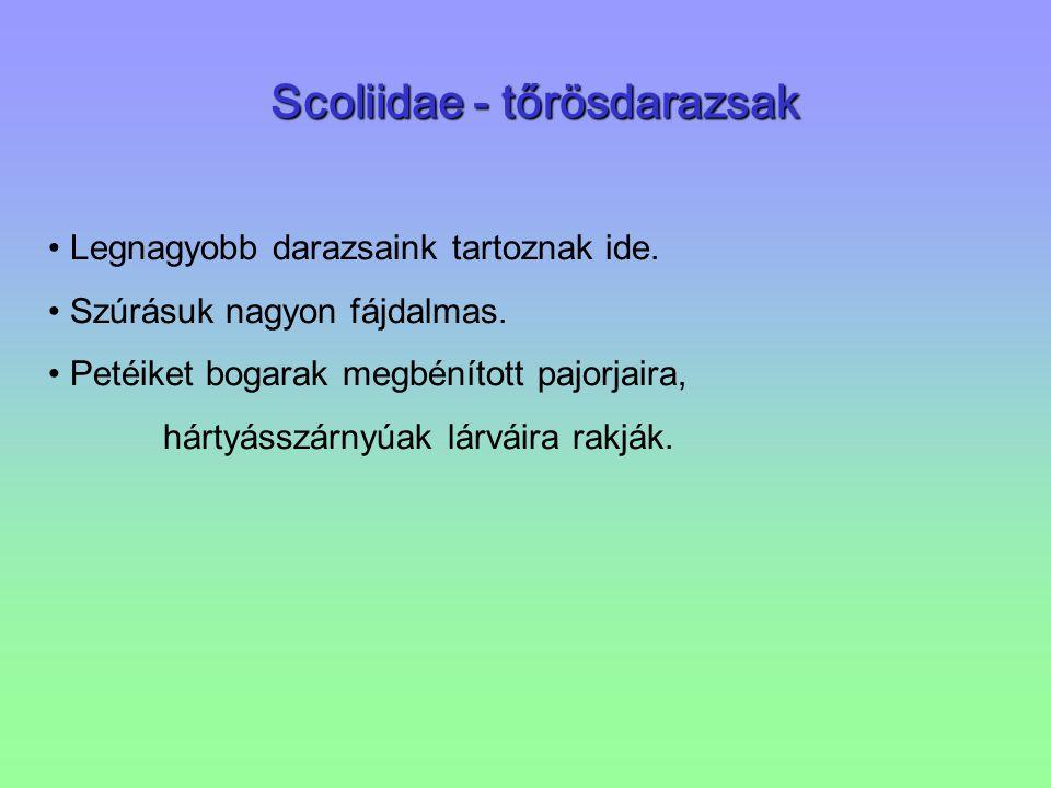 Scoliidae - tőrösdarazsak