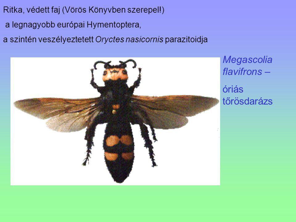 Megascolia flavifrons – óriás tőrösdarázs