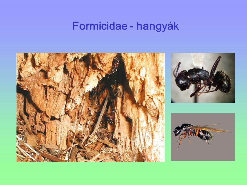 Formicidae - hangyák