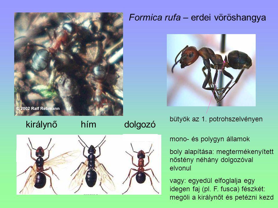 Formica rufa – erdei vöröshangya