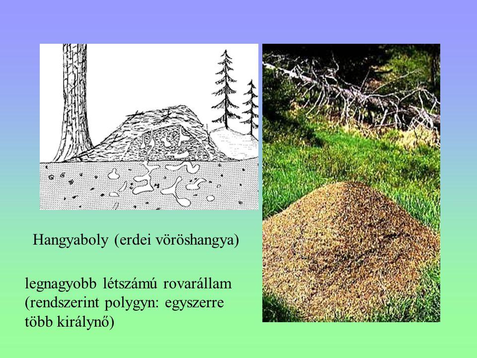 Hangyaboly (erdei vöröshangya)