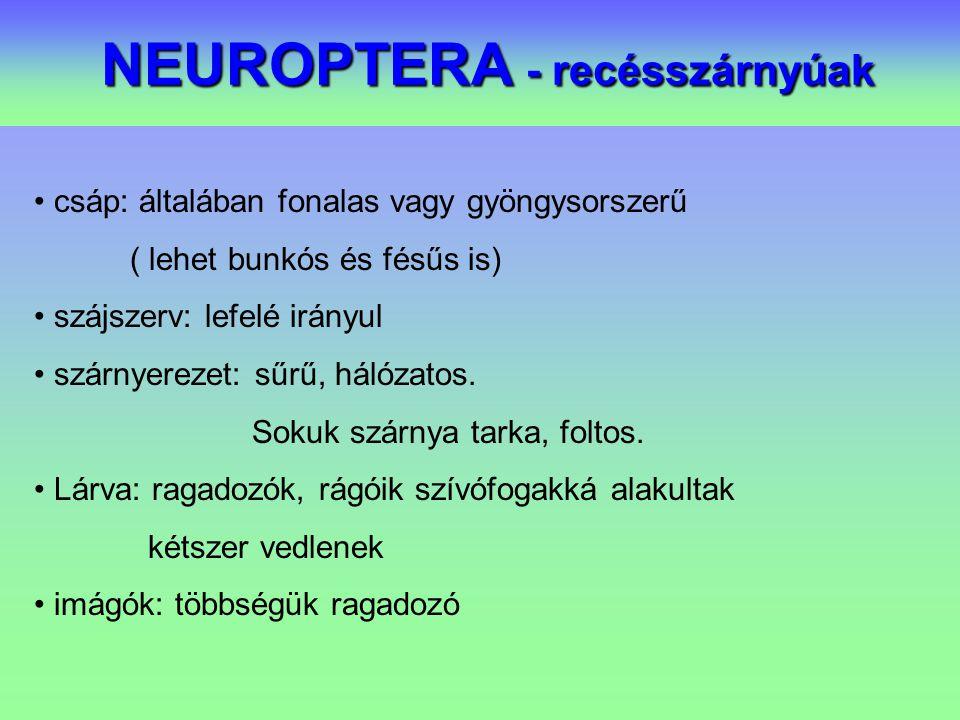 NEUROPTERA - recésszárnyúak