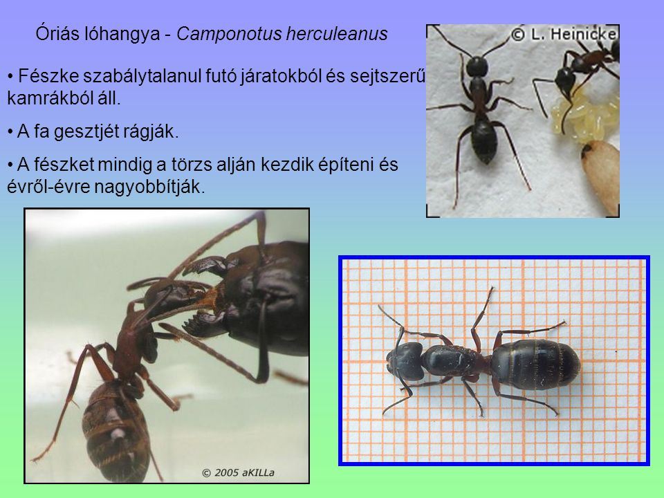 Óriás lóhangya - Camponotus herculeanus