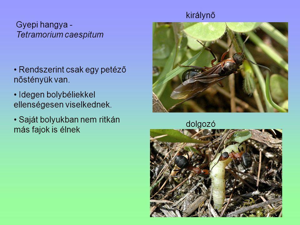 királynő Gyepi hangya - Tetramorium caespitum. Rendszerint csak egy petéző nőstényük van. Idegen bolybéliekkel ellenségesen viselkednek.
