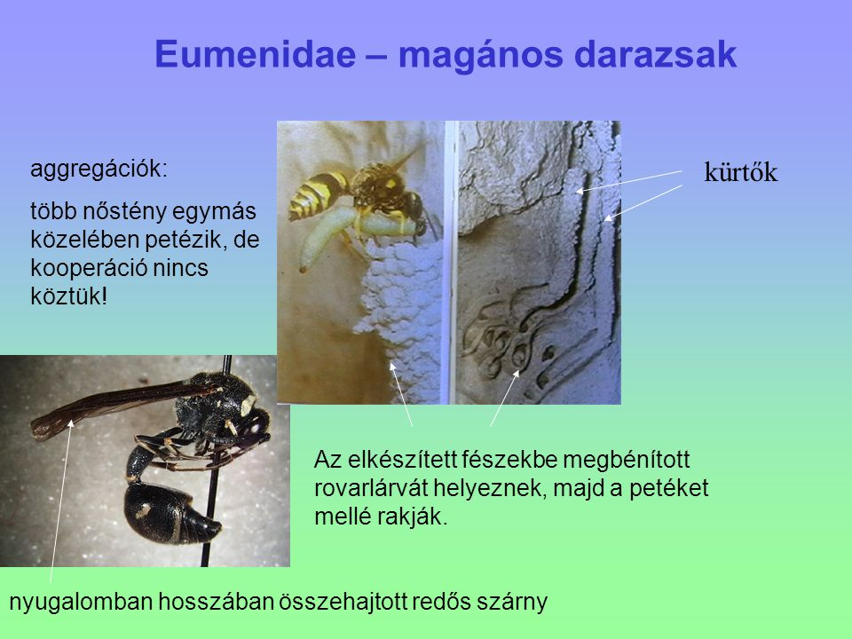 Eumenidae – magános darazsak