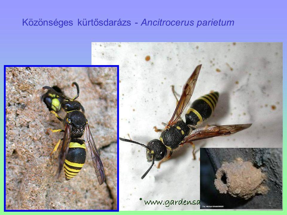 Közönséges kürtősdarázs - Ancitrocerus parietum
