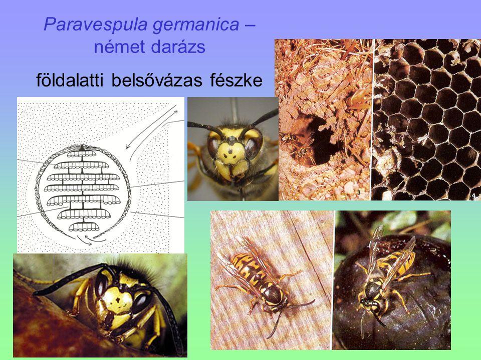 Paravespula germanica – német darázs földalatti belsővázas fészke