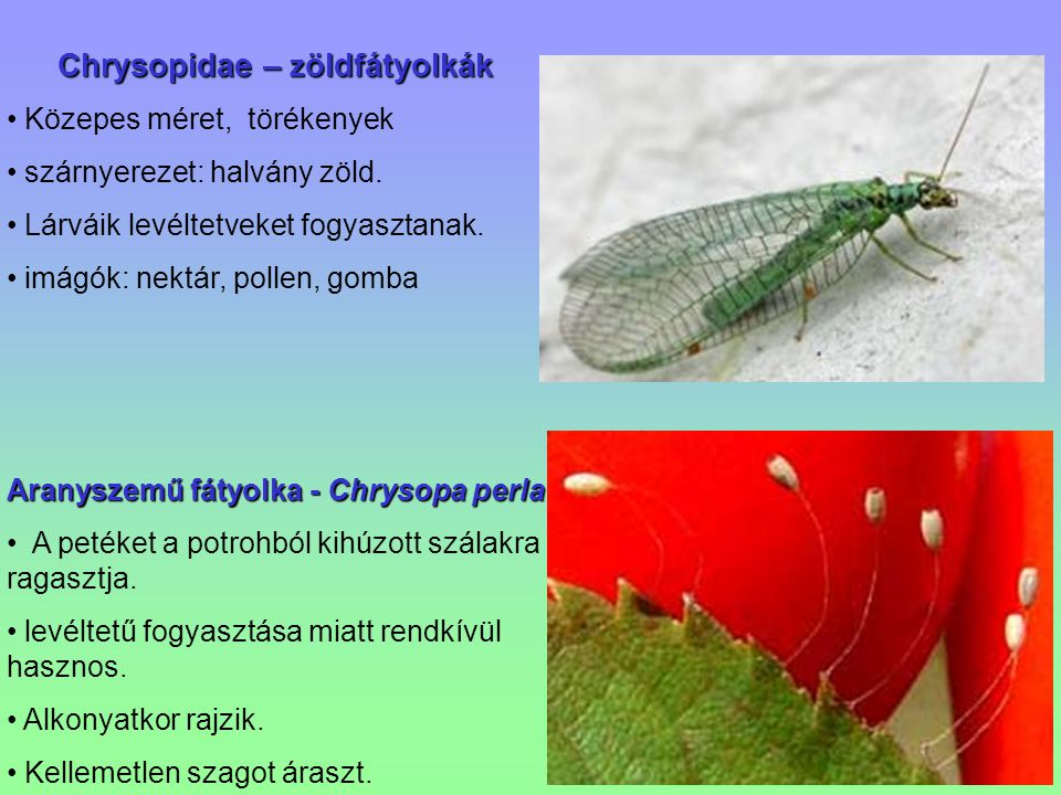 Chrysopidae – zöldfátyolkák