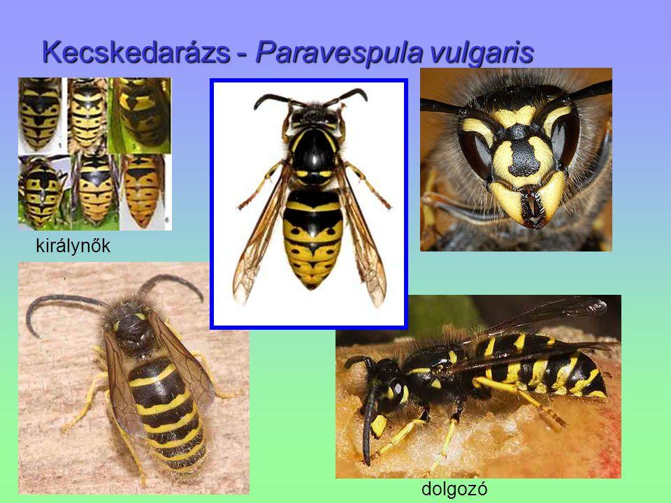 Kecskedarázs - Paravespula vulgaris