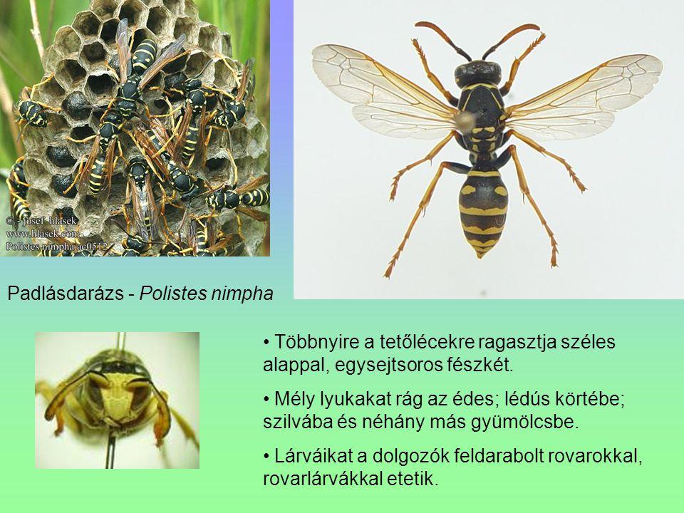 Padlásdarázs - Polistes nimpha