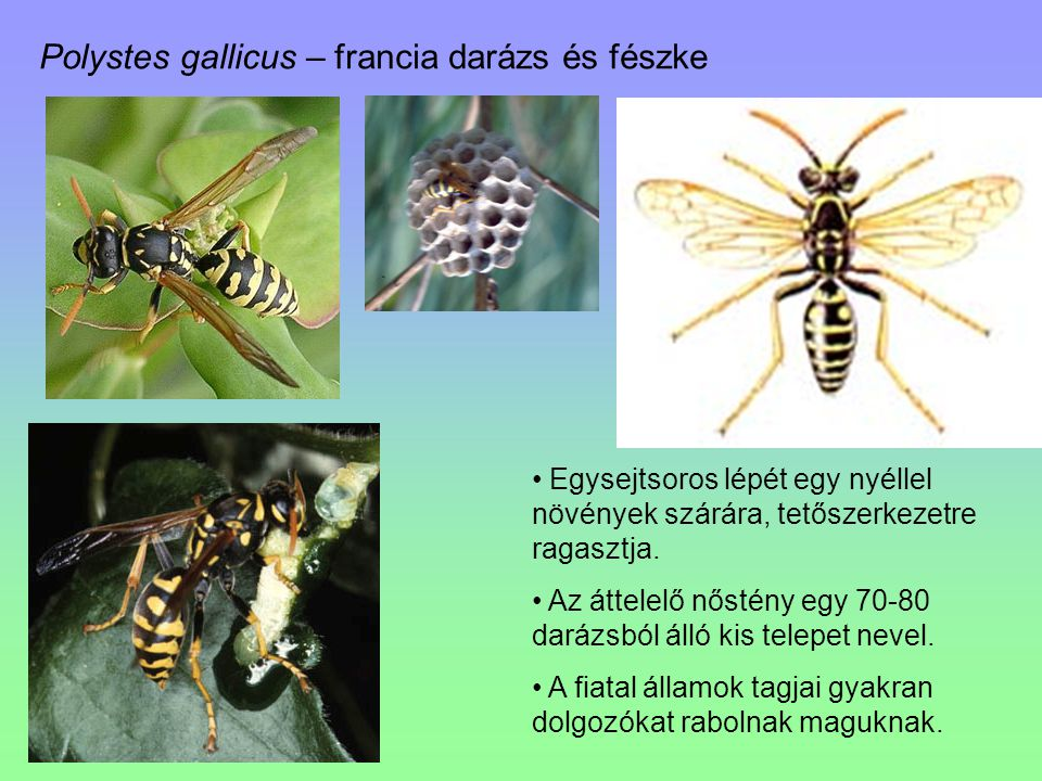 Polystes gallicus – francia darázs és fészke