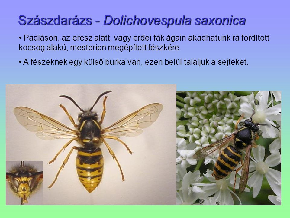 Szászdarázs - Dolichovespula saxonica