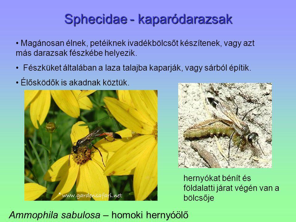 Sphecidae - kaparódarazsak