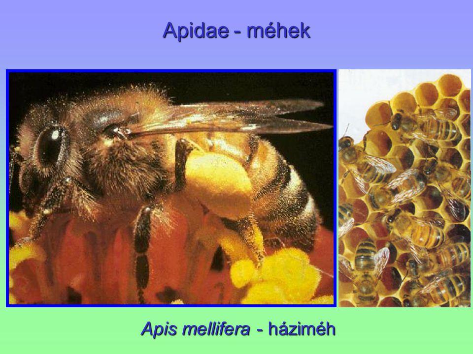 Apidae - méhek Apis mellifera - háziméh