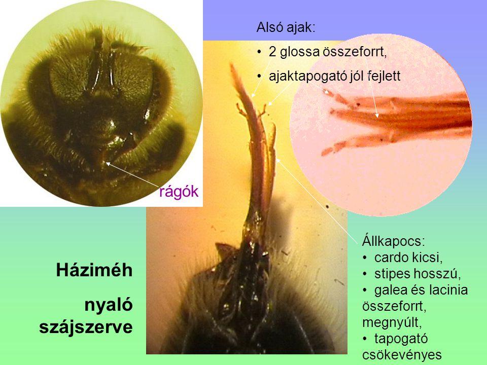 Háziméh nyaló szájszerve rágók Alsó ajak: 2 glossa összeforrt,