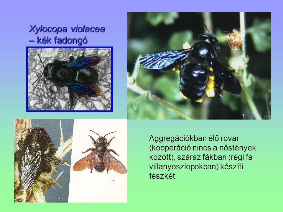 Xylocopa violacea – kék fadongó