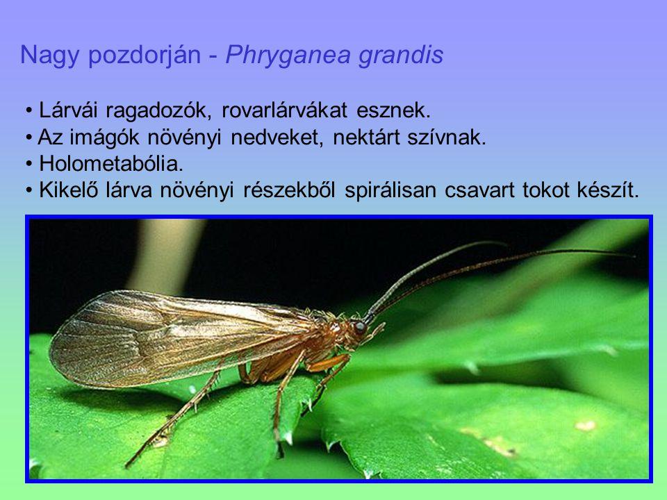 Nagy pozdorján - Phryganea grandis