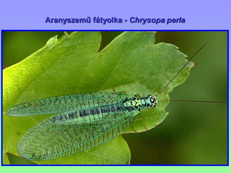Aranyszemű fátyolka - Chrysopa perla