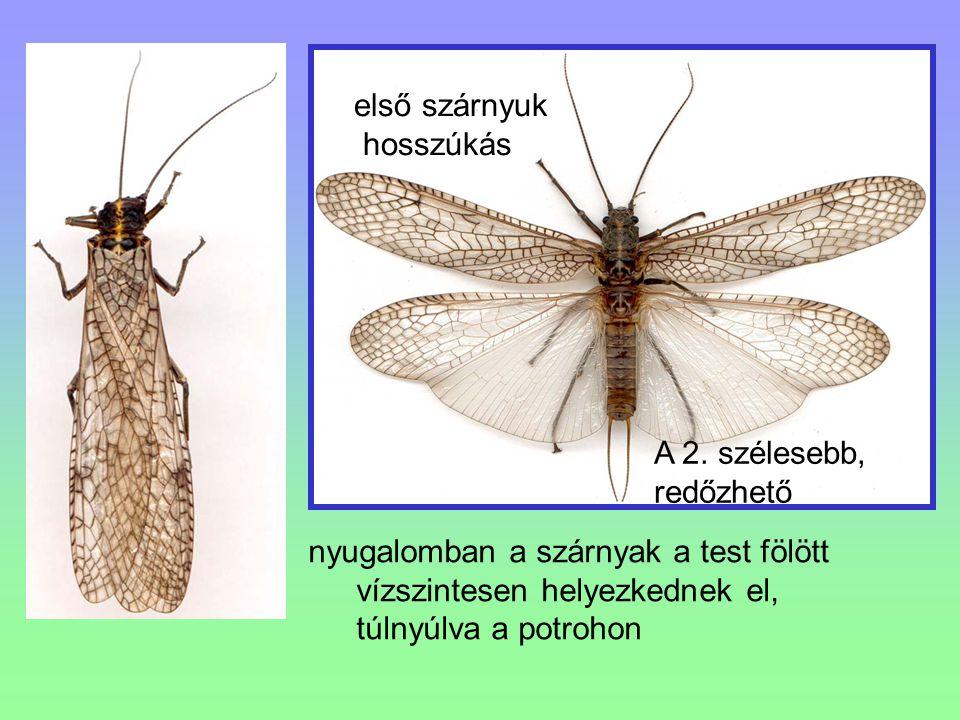 első szárnyuk hosszúkás. A 2. szélesebb, redőzhető. nyugalomban a szárnyak a test fölött vízszintesen helyezkednek el,