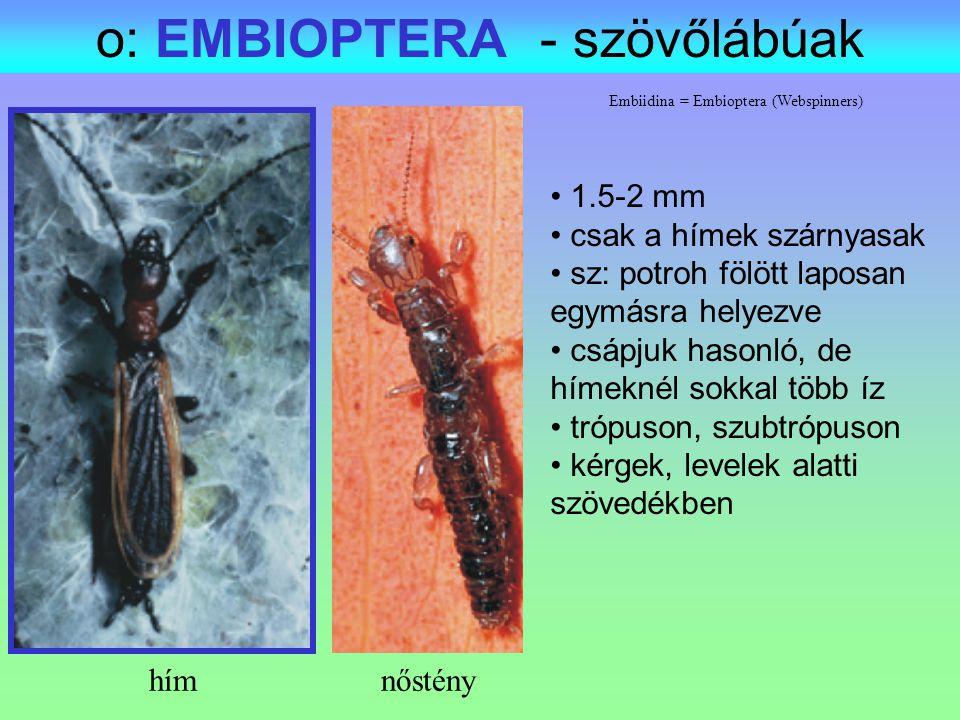 o: EMBIOPTERA - szövőlábúak