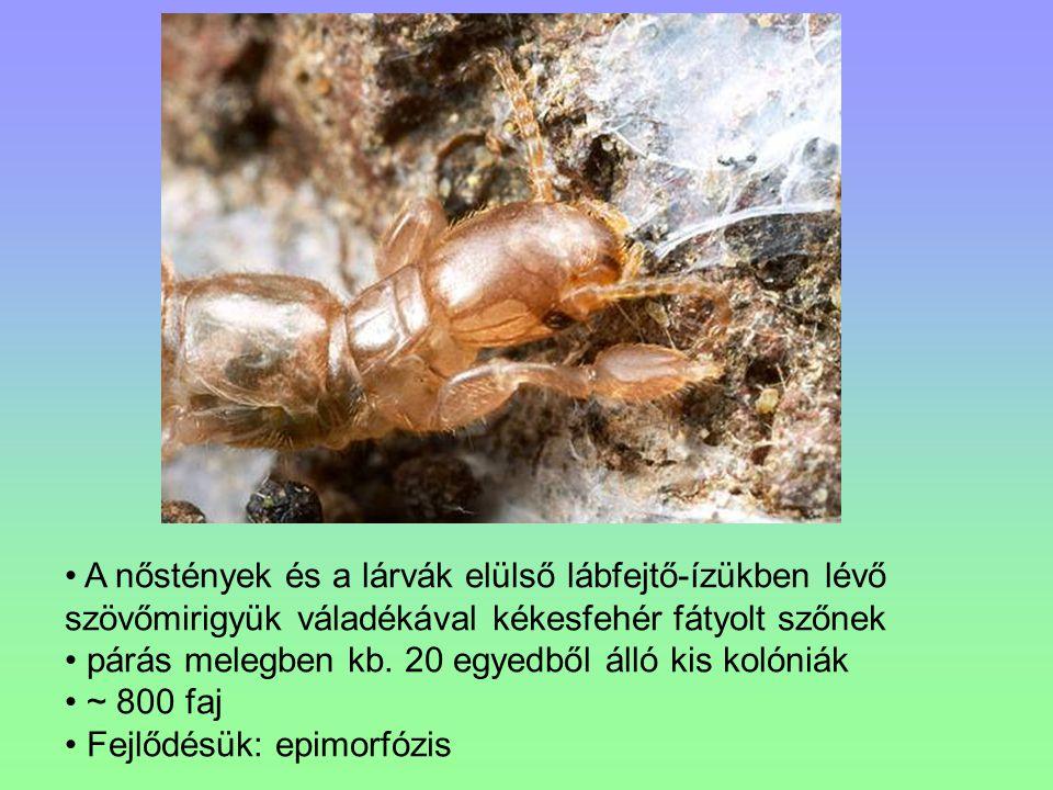 A nőstények és a lárvák elülső lábfejtő-ízükben lévő szövőmirigyük váladékával kékesfehér fátyolt szőnek
