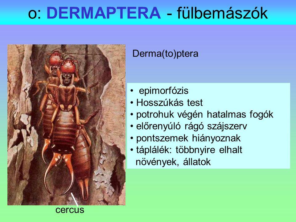 o: DERMAPTERA - fülbemászók