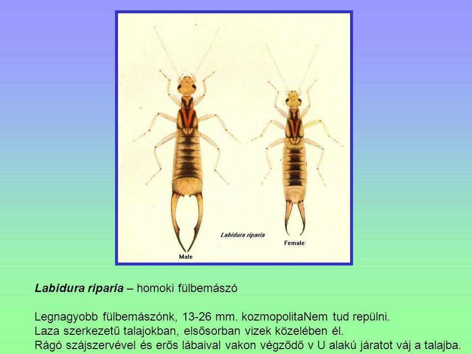 Labidura riparia – homoki fülbemászó