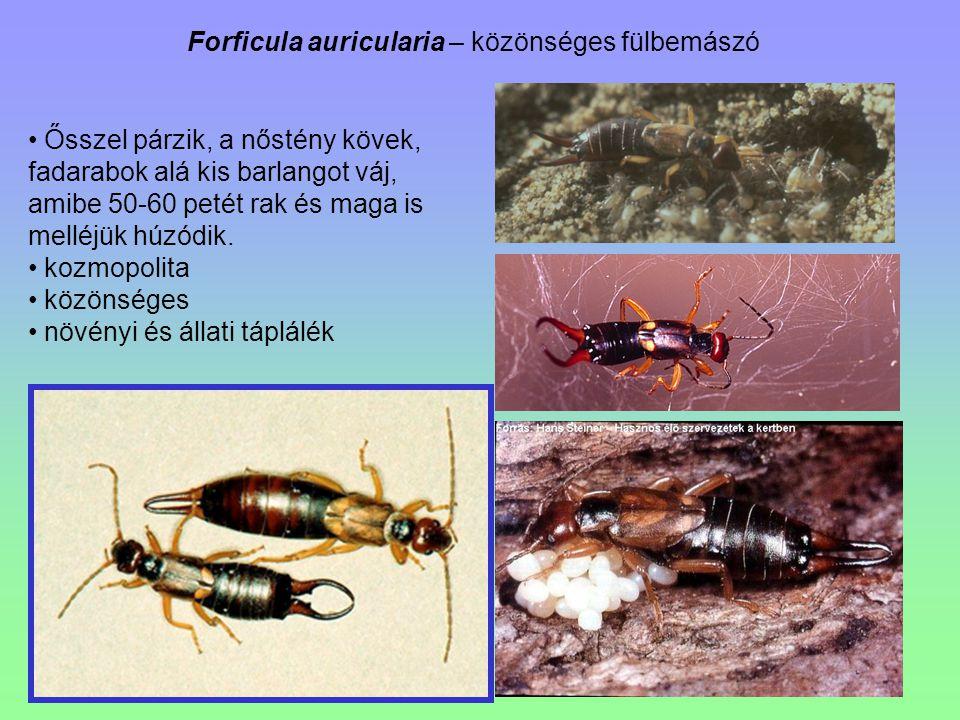 Forficula auricularia – közönséges fülbemászó