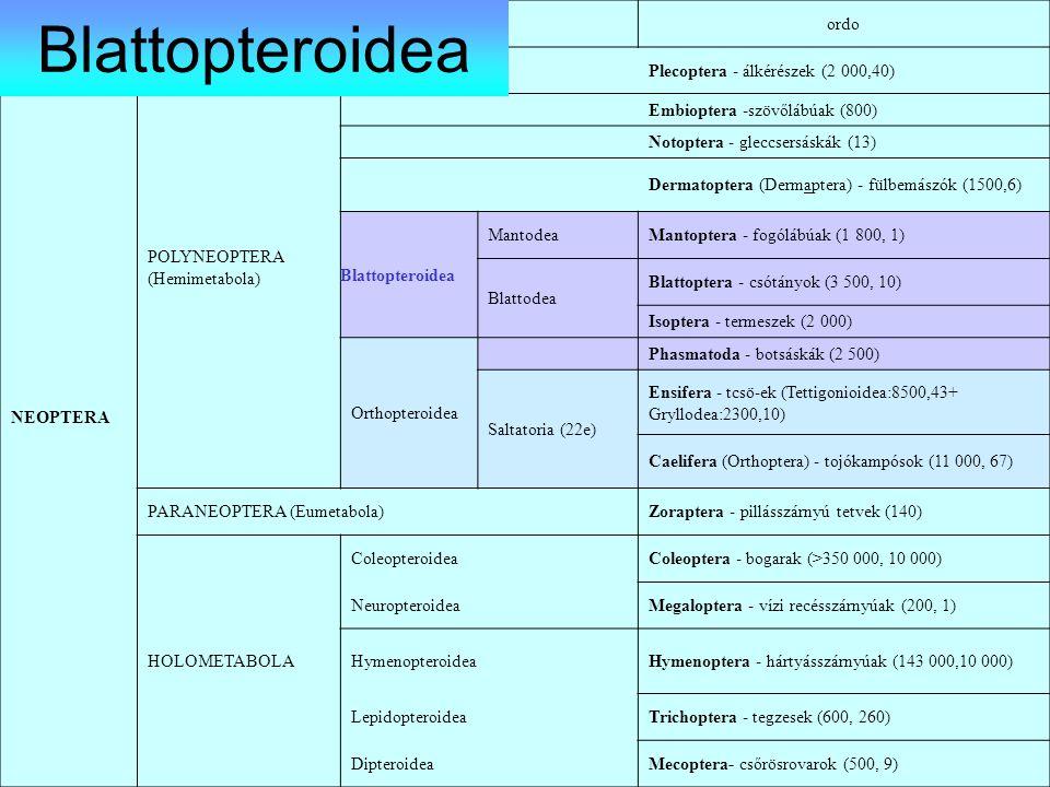 Blattopteroidea ordo NEOPTERA POLYNEOPTERA (Hemimetabola)
