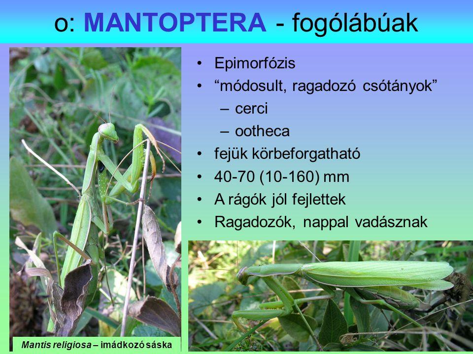 o: MANTOPTERA - fogólábúak