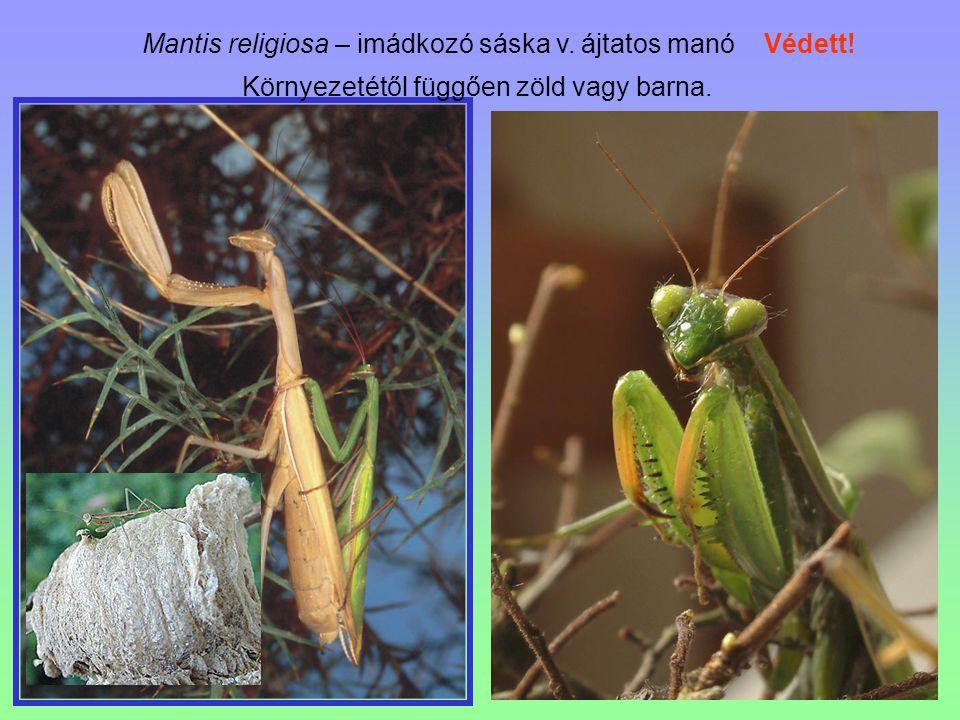 Környezetétől függően zöld vagy barna.