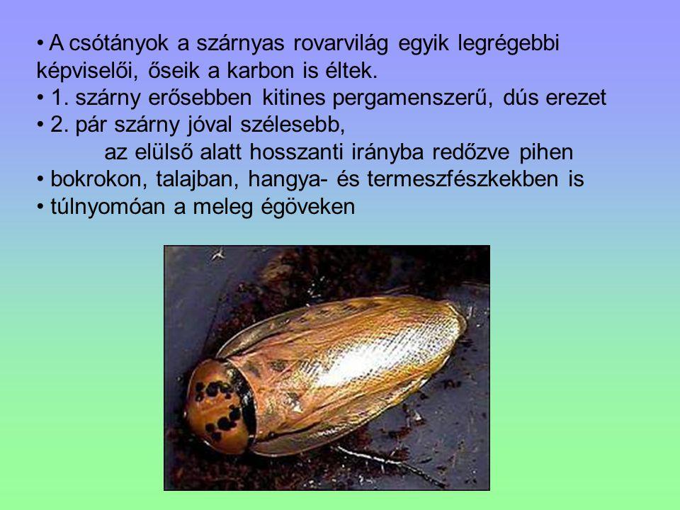 A csótányok a szárnyas rovarvilág egyik legrégebbi