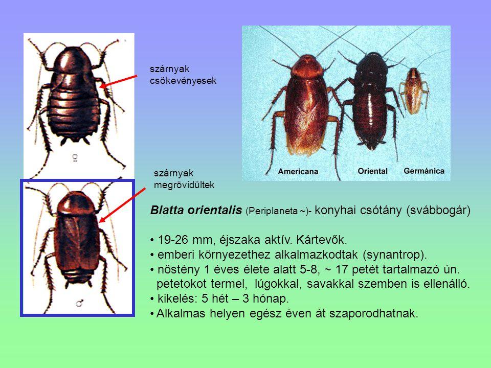 Blatta orientalis (Periplaneta ~)- konyhai csótány (svábbogár)