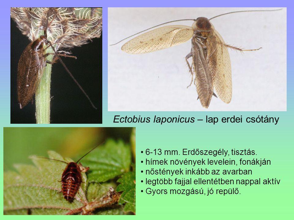 Ectobius laponicus – lap erdei csótány