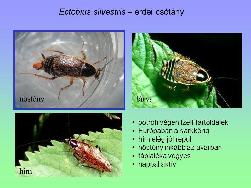 Ectobius silvestris – erdei csótány