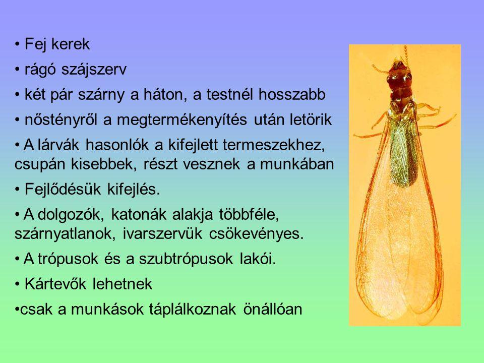 Fej kerek rágó szájszerv. két pár szárny a háton, a testnél hosszabb. nőstényről a megtermékenyítés után letörik.