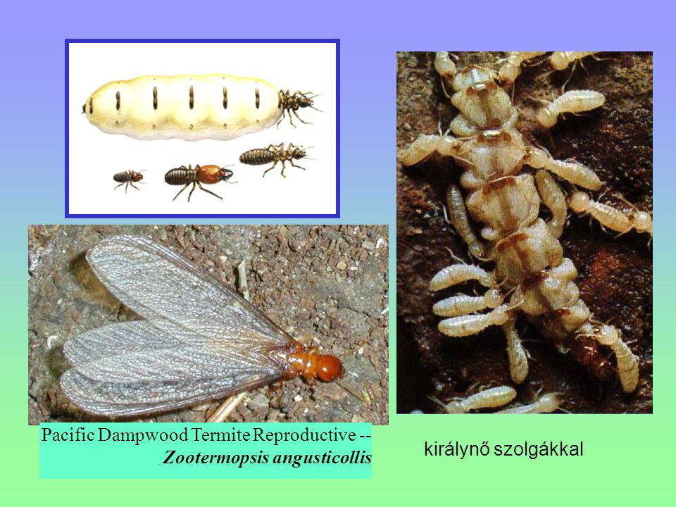 Pacific Dampwood Termite Reproductive -- Zootermopsis angusticollis