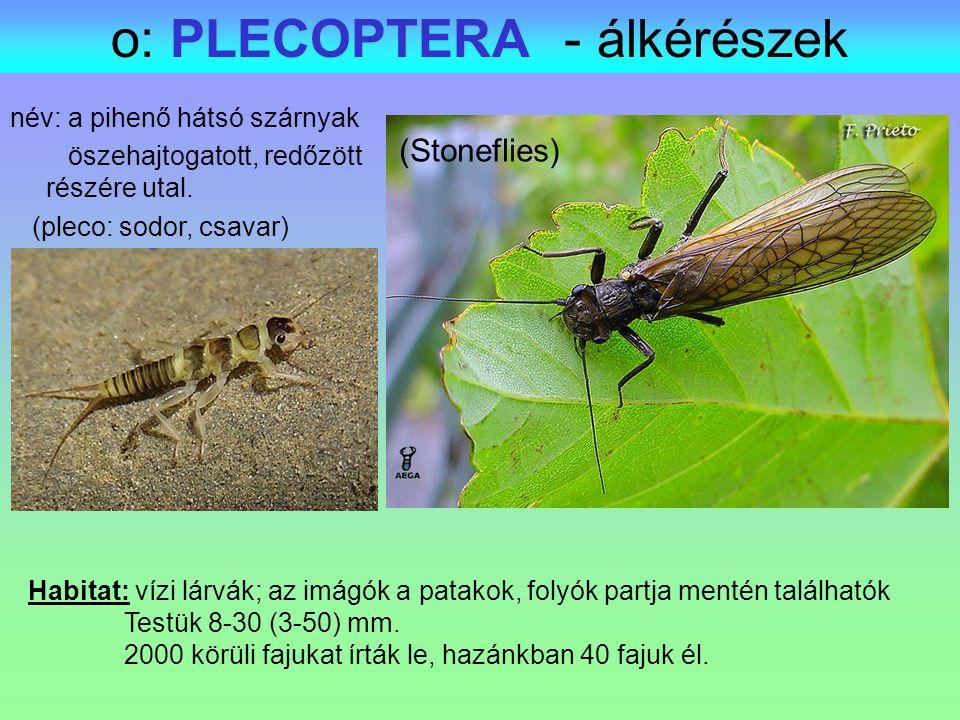 o: PLECOPTERA - álkérészek