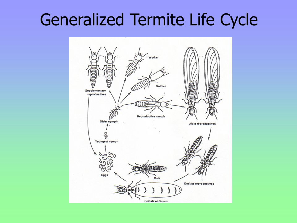 Generalized Termite Life Cycle