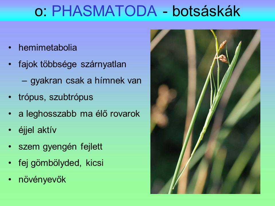 o: PHASMATODA - botsáskák